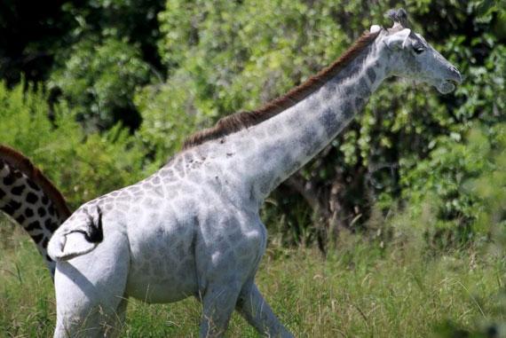 white-jiraffe