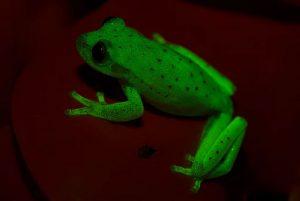Fluorescing--frog