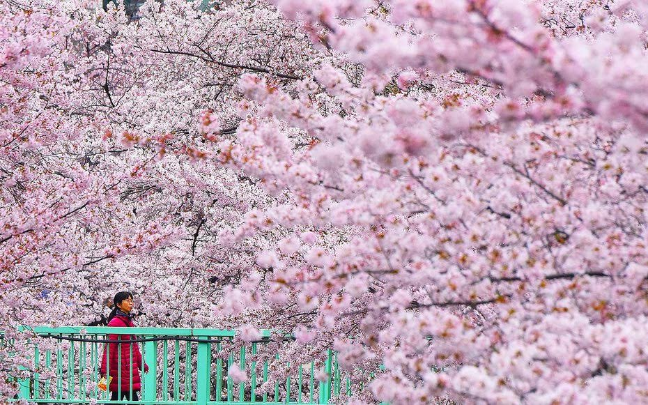 A woman strolls on an esplanade covered with cherry blossoms in full bloom in Tokyo on April 2, 2016.  Viewing cherry blossoms is a national pastime and cultural event in Japan, where millions of people turn out to admire them annually. / AFP / TORU YAMANAKA        (Photo credit should read TORU YAMANAKA/AFP/Getty Images)