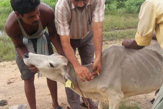 ID-number-cow